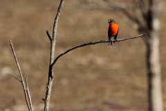 Red-robin_9519